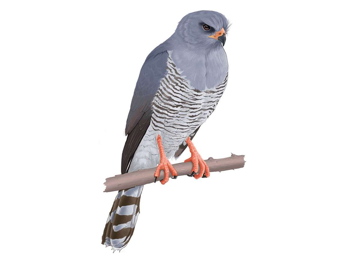Gabar Goshawk Illustration
