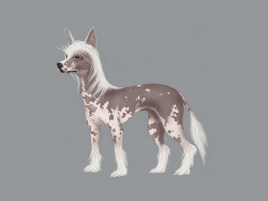 Chinese Crested Illustration