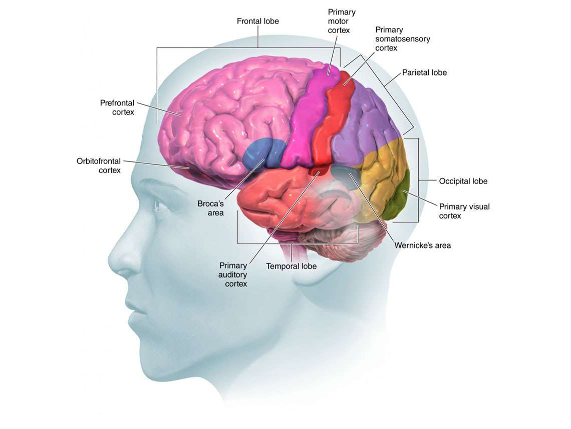 Brain Lobes Illustration