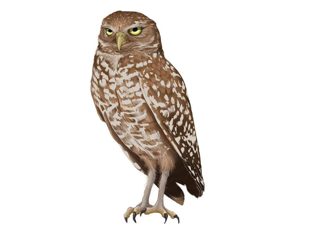 Burrowing Owl Illustration