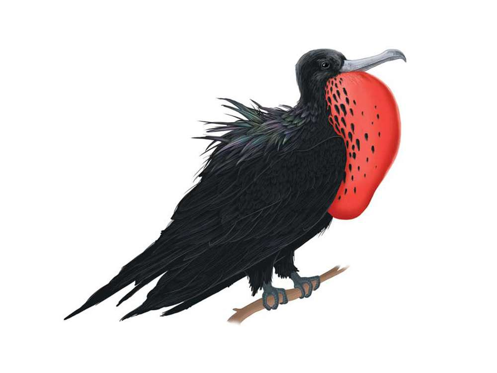 Frigate Bird Illustration