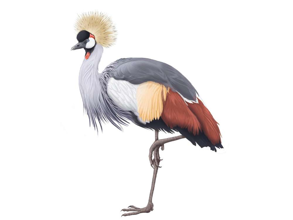 Gray Crowned Crane Illustration