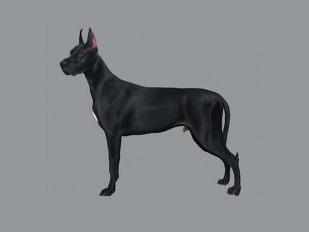 Great Dane Illustration