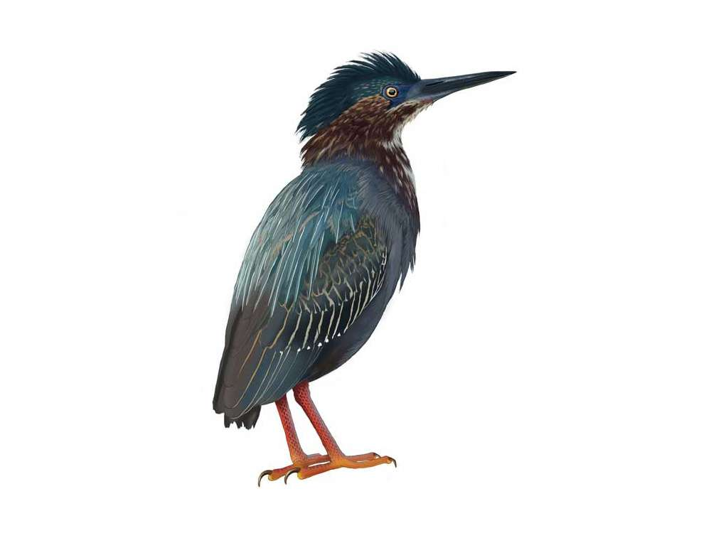 Green Heron Illustration