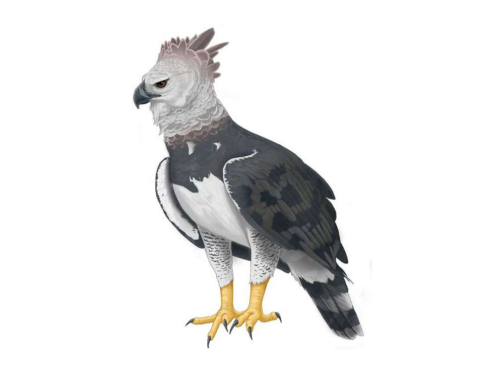 Harpy Eagle Illustration