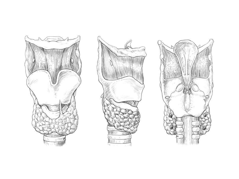 Larynx Thyroid Line Art Illustration