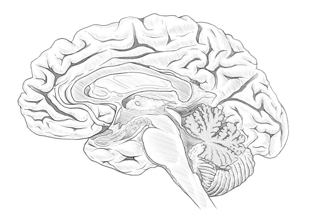 Midbrain Illustration