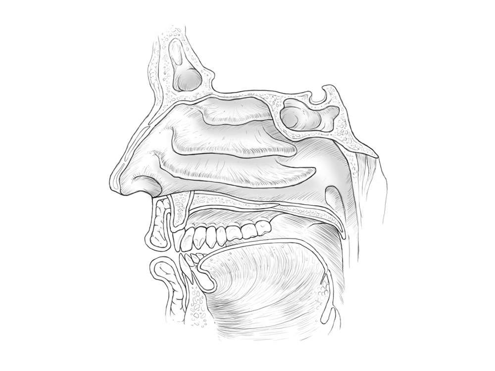 Nasal Cavities Illustration