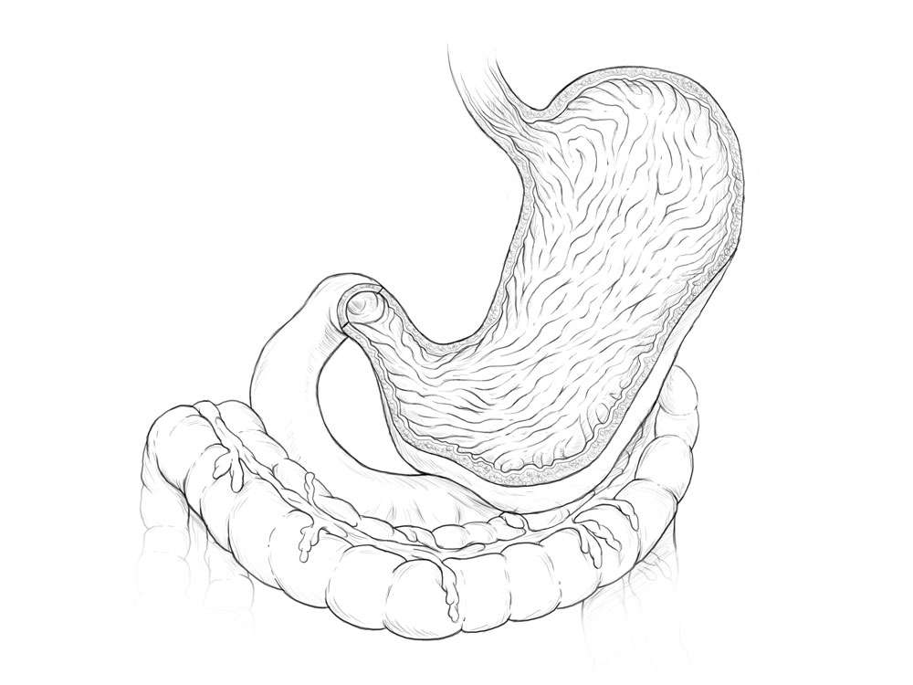 Stomach Rugae Illustration