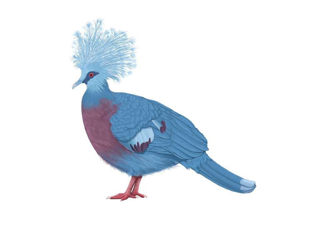 Victorian Crowned Pigeon Illustration