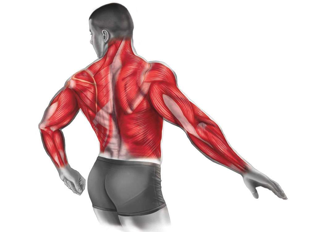 Back Muscles Illustration