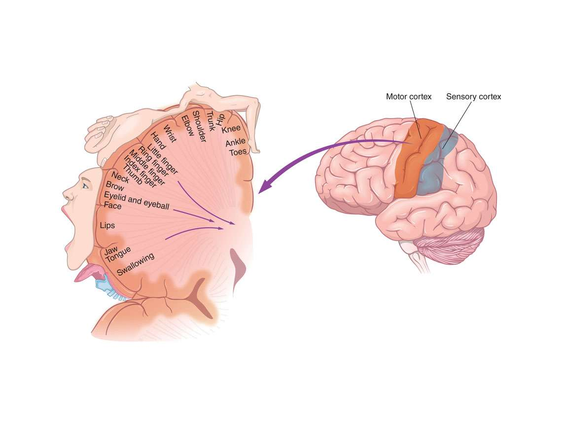 Brain Cortex Illustration