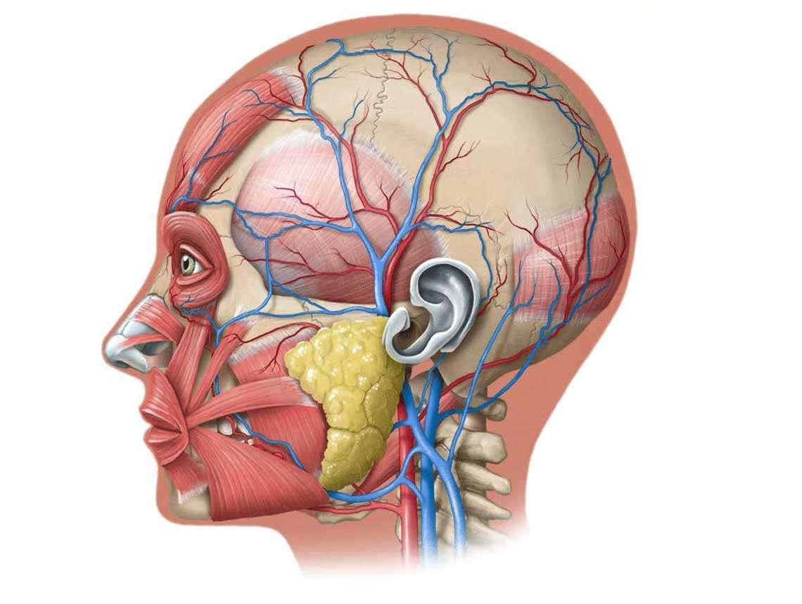 Cranium Illustration
