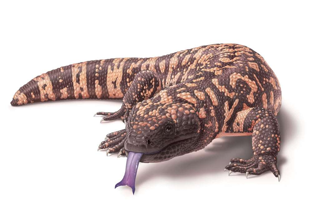 Gila Monster Illustration