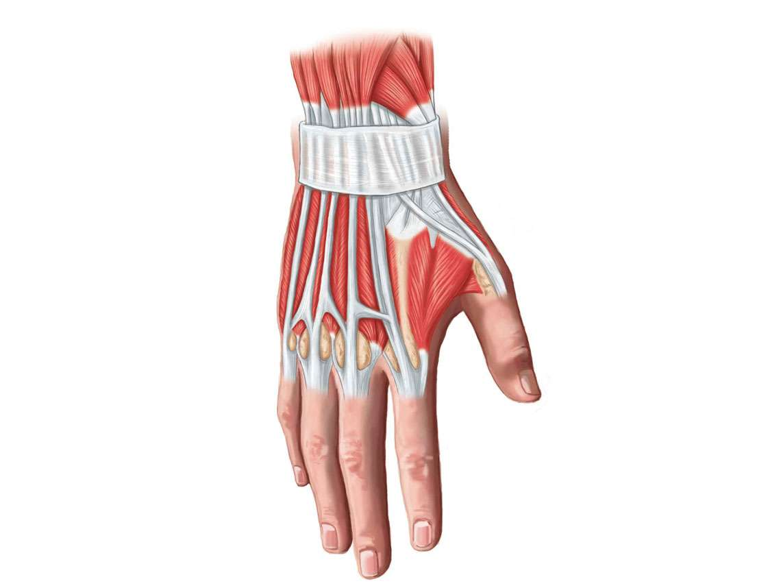 Hand Muscles Illustration