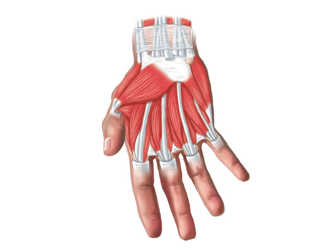 Palm Muscles Illustration