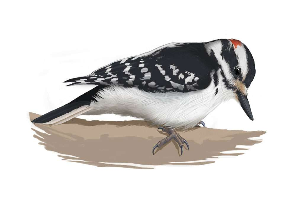 Hairy Woodpecker Illustration