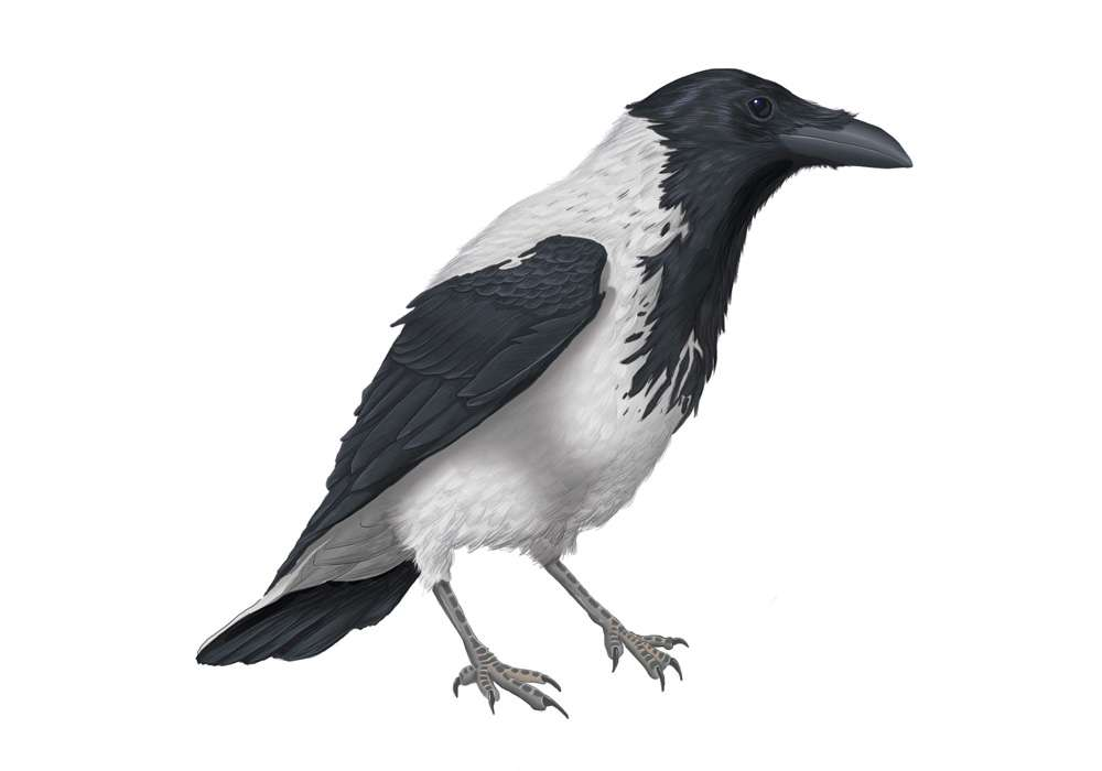 Hooded Crow Illustration