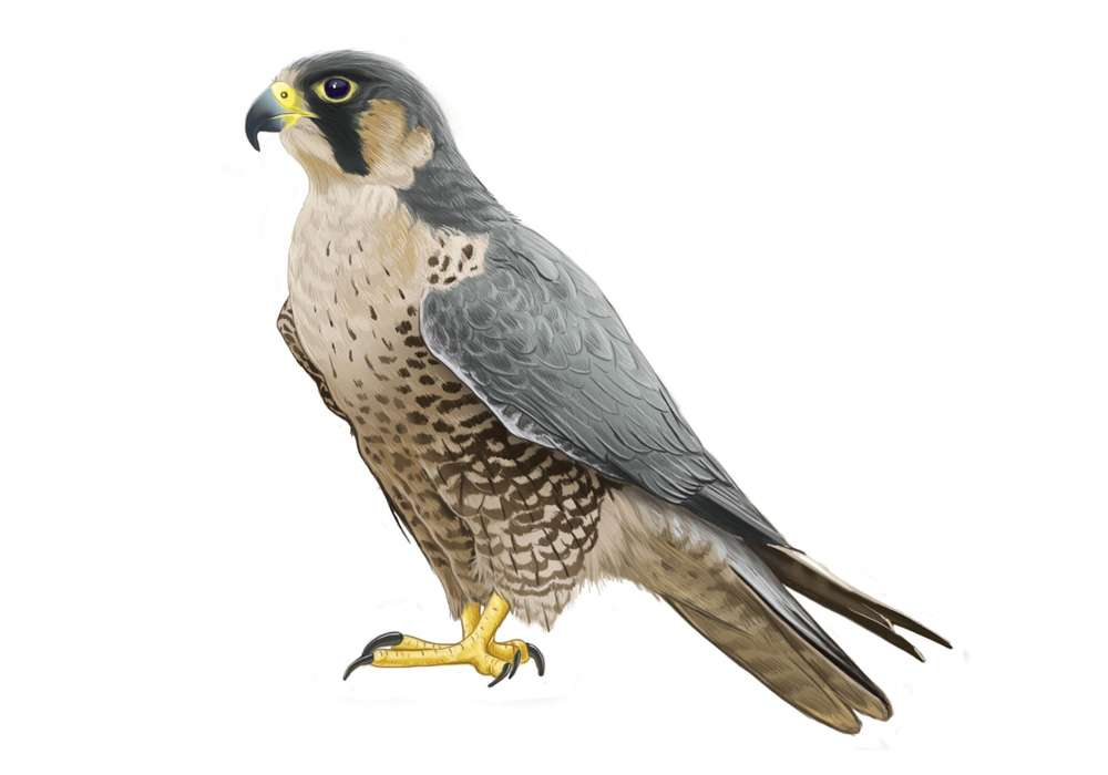 Perengrine Falcon Illustration