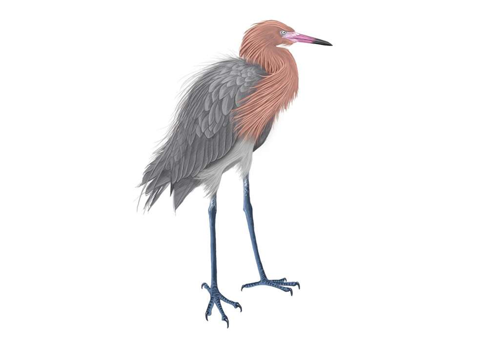 Reddish Egret Illustration
