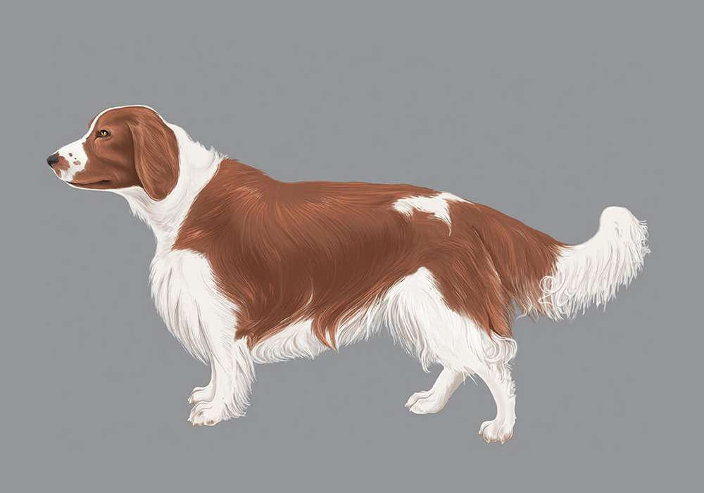 Welsh Springer Spaniel Illustration