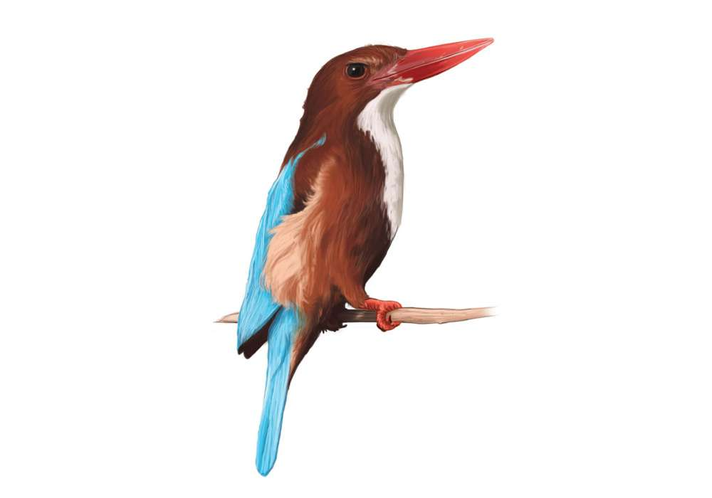 White Throated Kingfisher Illustration