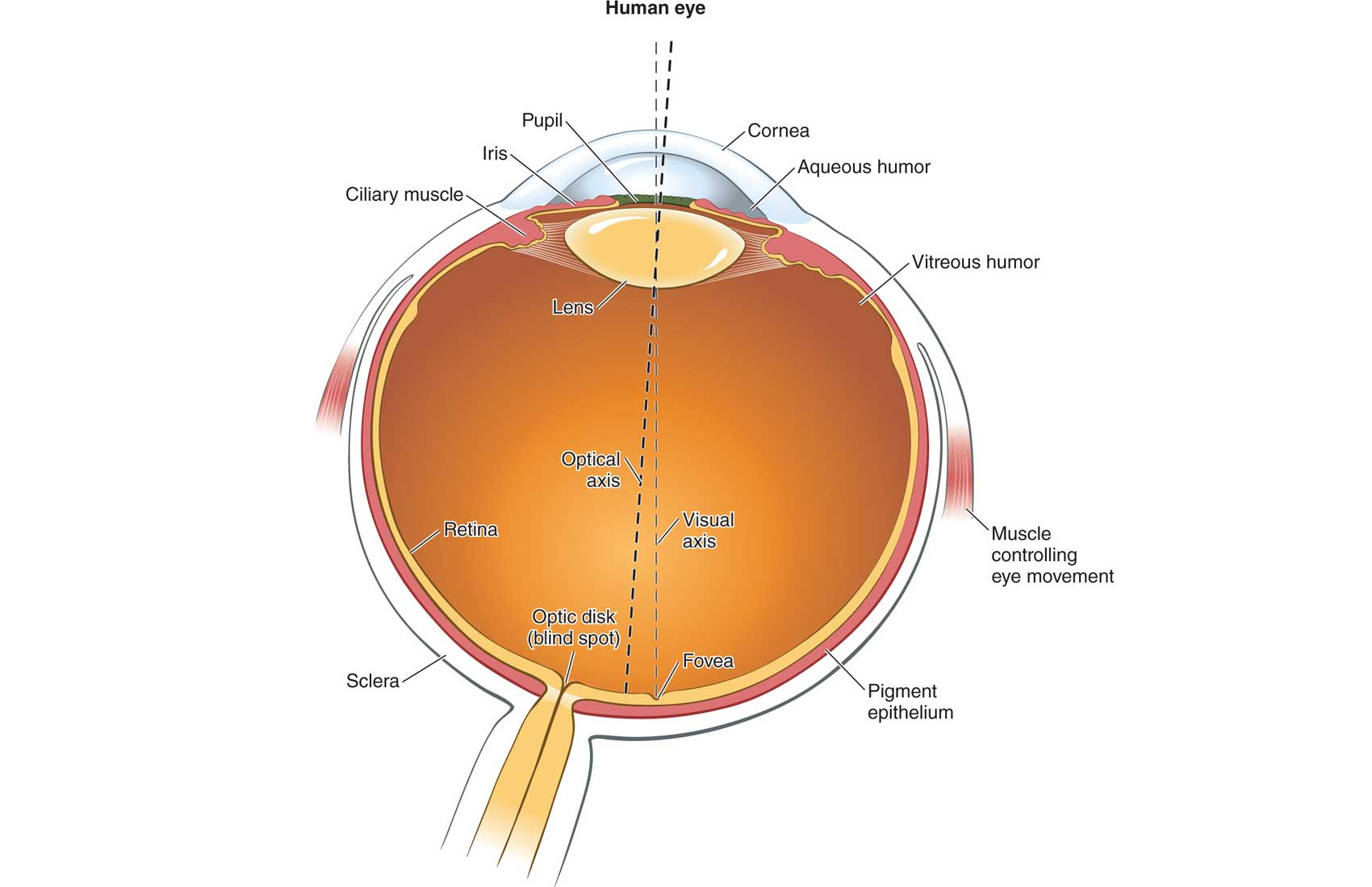 Human Eye Illustration