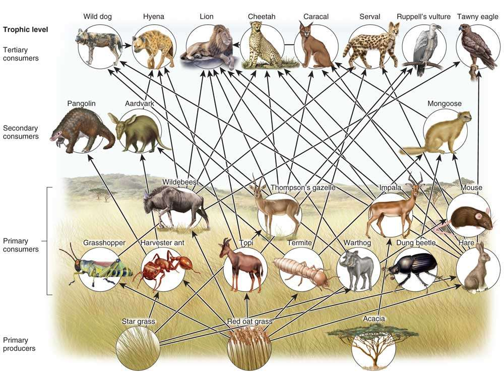 Savanna Food Web
