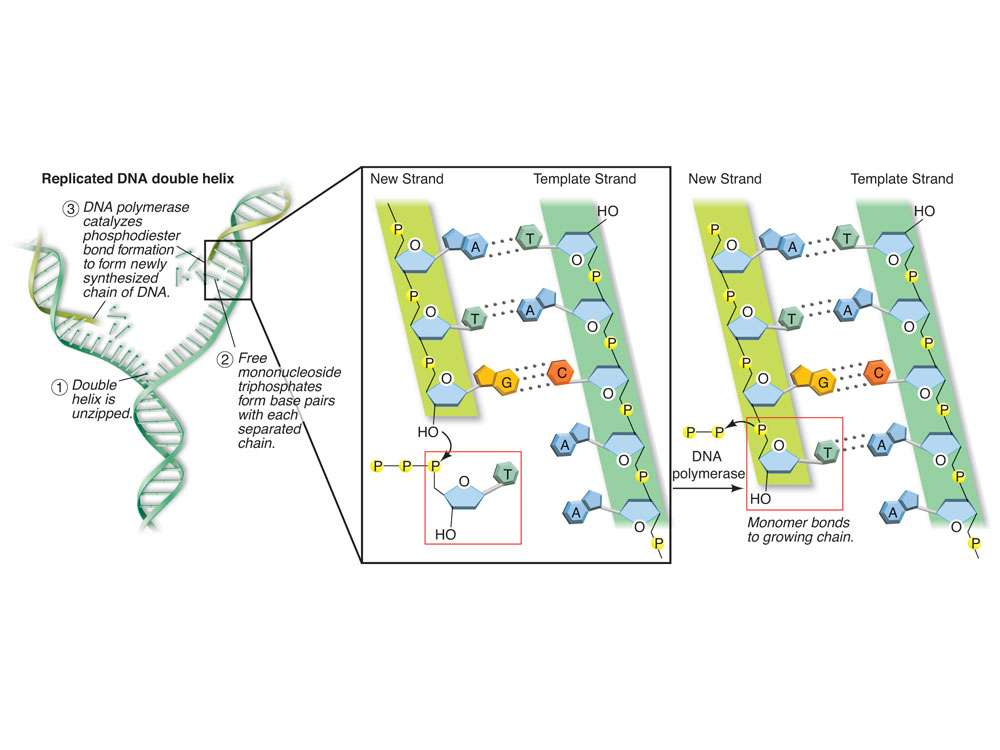 Replicated DNA Double Helix Page Layout Design