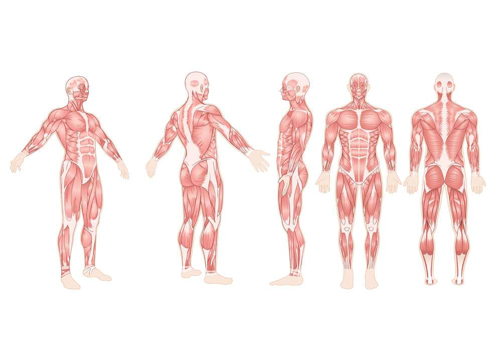 360 Degrees of Adult Muscles Illustration