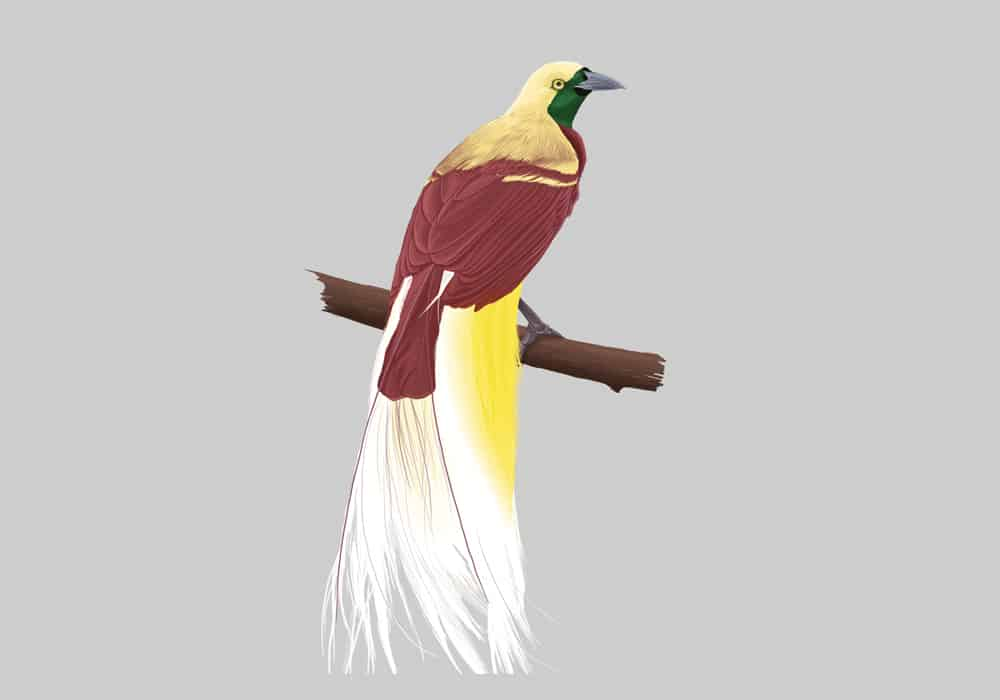 Lesser Bird of Paradise Illustration