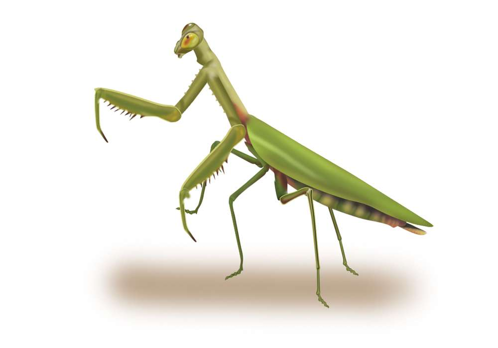 Posable Praying Mantis Illustration
