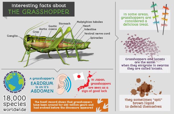 Grasshopper Infographic