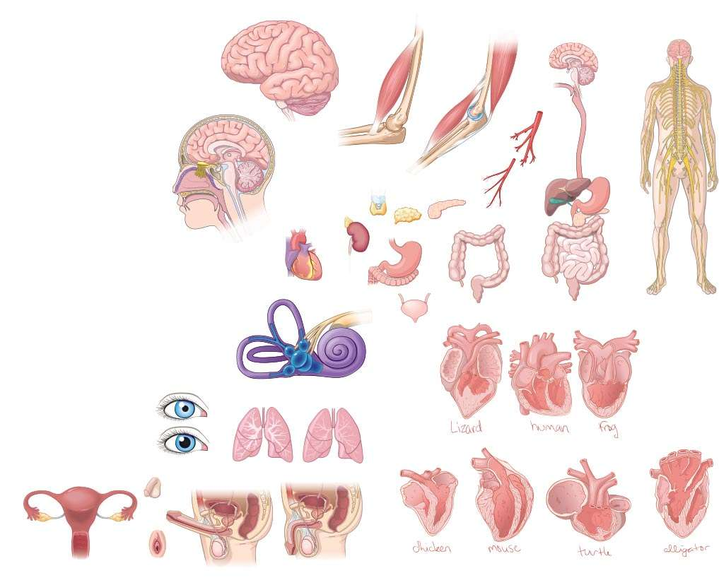 Human Organs Systems