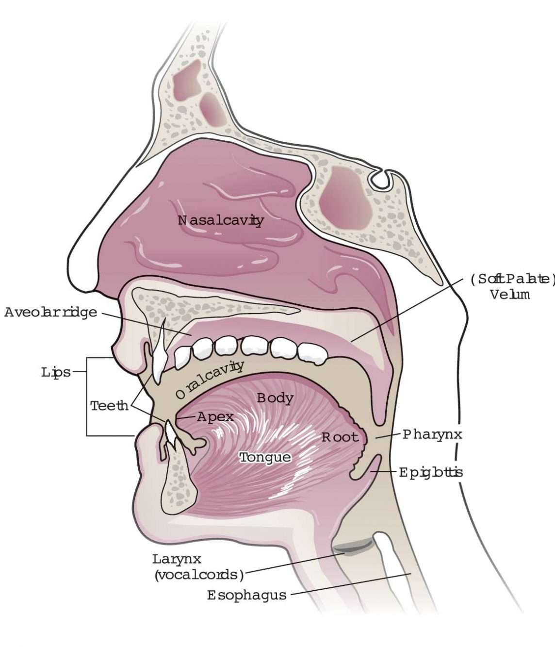 Nasal and Mouth Illustration