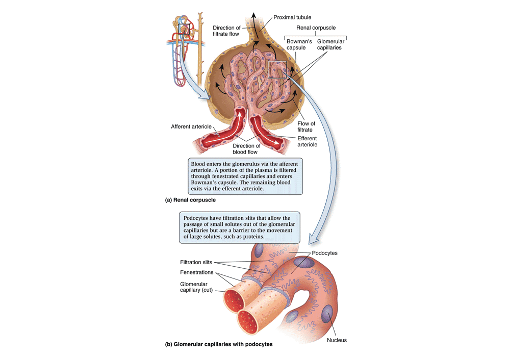Renal Corpuscle and Glomerulus